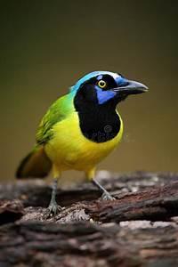 Oiseau Jaune Et Bleu : portrait d 39 oiseau jaune avec le geai vert principal bleu yncas de cyanocorax nature sauvage ~ Melissatoandfro.com Idées de Décoration