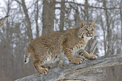 interesting facts   timid  beautiful lynx cat