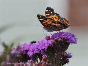 New York State Butterflies List