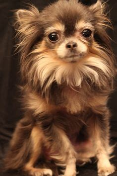 long hair chihuahua images   cute puppies