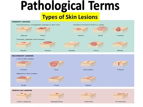 Glossary Of Terms Commonly Used In Primary Revision Terminology Lecture 4 The Integumentary System