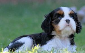 Cavalier King Charles Spaniel Puppies Color Colour Tri Color