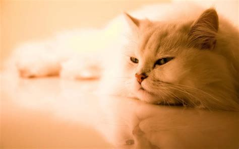 Free Download Lovely And Beautiful Cats Hd Wallpapers Hd