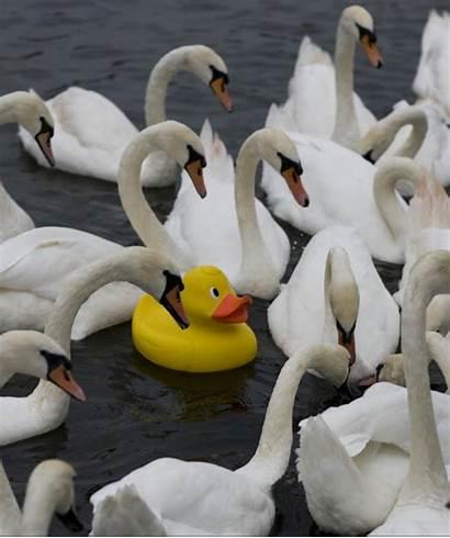 Duck Swans