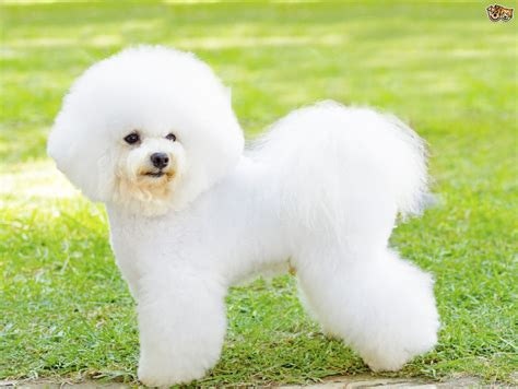 Non Shedding Small Dogs Uk by Bichon Frise Dog Breed Information Buying Advice Photos