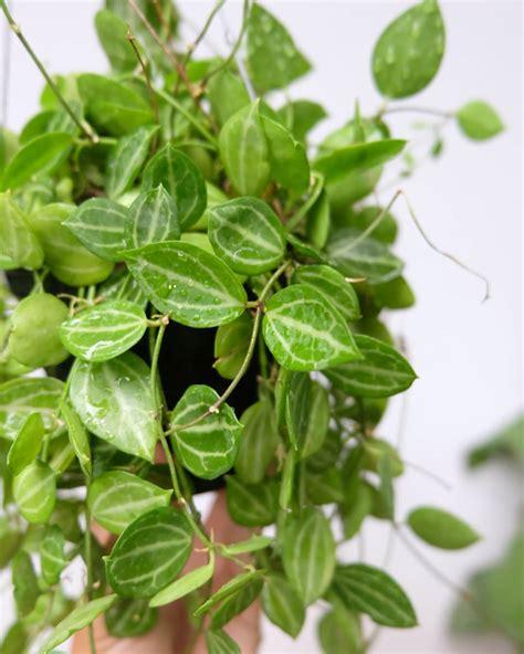 tanaman hias gantung daun ungu cat rumah minimalis