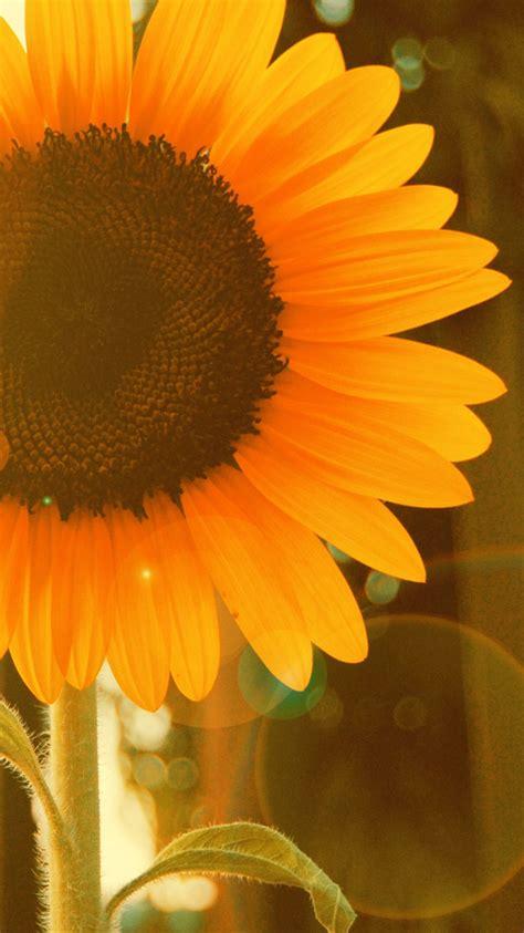 sunflower  window iphone wallpaper iphone wallpapers