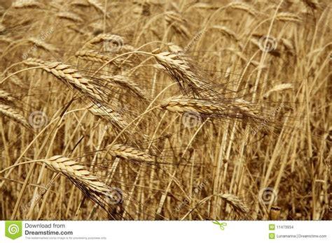 culture de plein ch s 232 che d or de bl 233 d agriculture