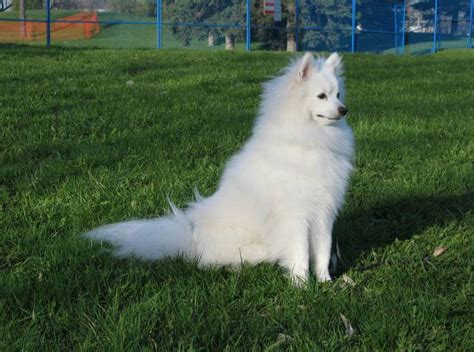 miniature american eskimo shedding 25 best ideas about american eskimo on