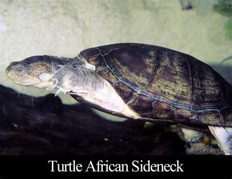 sideneck turtle fish mart inc