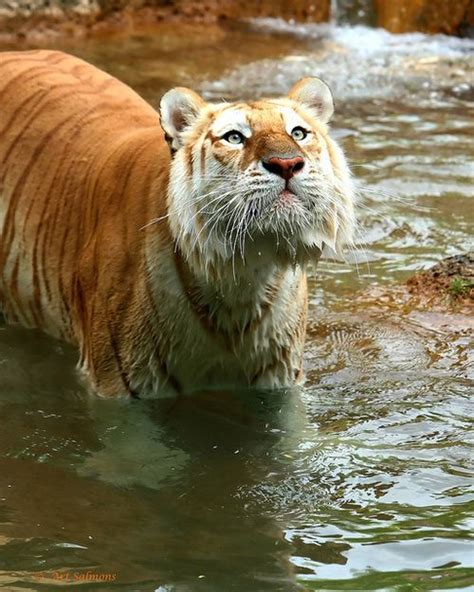 Best Images About Animals Tigers Golden