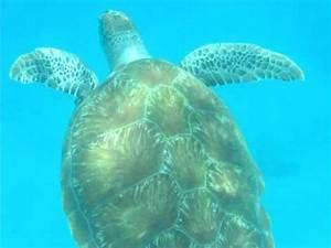 Sea Turtle Encounter in Barbados - YouTube