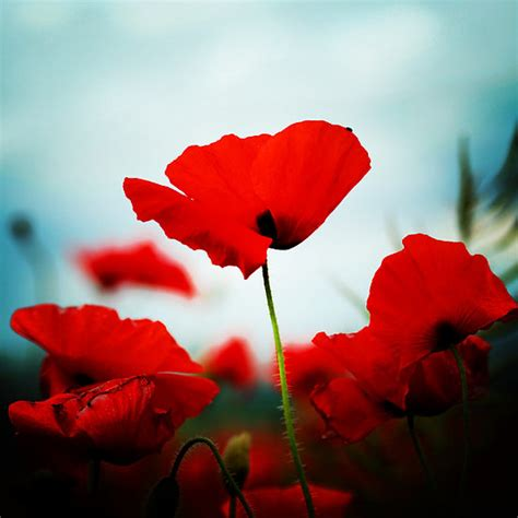 images poppies remembrance musings of a sea witch do you remember the red poppy