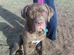 neapolitan mastiff mix