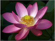 Best buddha symbols ideas and images on bing find what youll love buddhist symbols lotus flower mightylinksfo