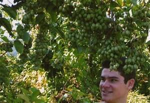 Mini Kiwi Schneiden : mini garten mini kiwi pflanzen pinterest kiwi und mini ~ Orissabook.com Haus und Dekorationen