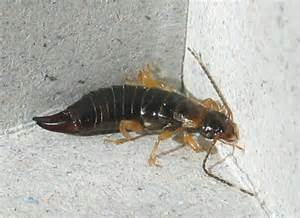 Bugs That Look Like Earwigs