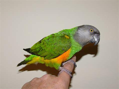senegal parrot the online zoo senegal parrot