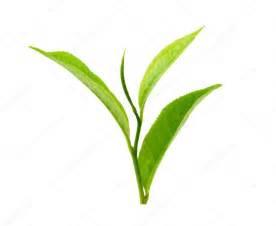 Green tea leaf isolated on white background — Stock Photo ...