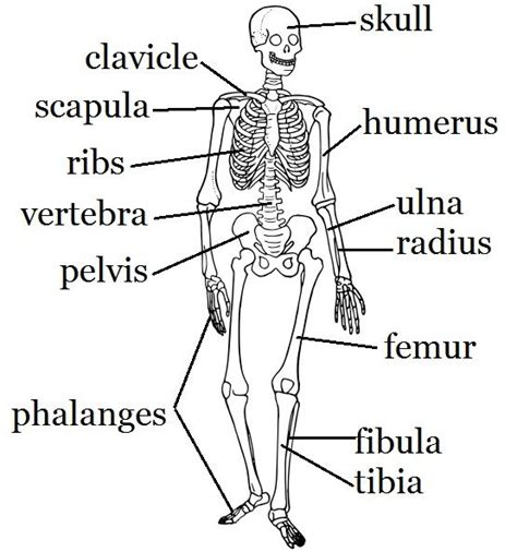 Basic Bone Diagram by Skeletal System Mostly Science Crafts