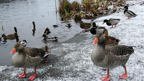 Viruset finnes hos fugler og kan i svært sjeldne tilfeller smitte over på mennesker. Fugleinfluensa i Norge: viktig å varsle om døde fugler - Hnytt