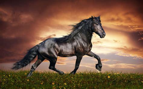 Black Horse Running Friesian Stallion