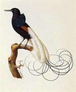 ShukerNature: SEEKING THE LOST BIRDS OF PARADISE