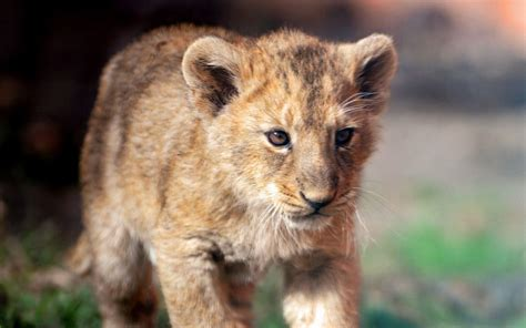 Images Of Cute Lion Cubs Wallpapers Golfclub