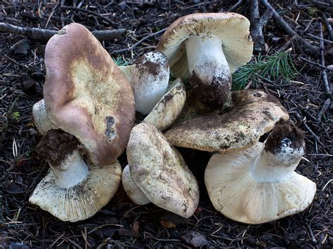 Russula mustelina . Fr -- Discover Life