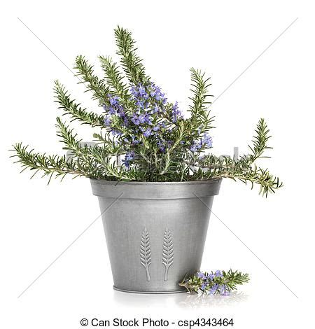 photo de aromate plante romarin romarin aromate plante dans csp4343464 recherchez