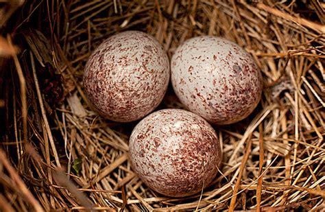 cardinal eggs flickr photo sharing