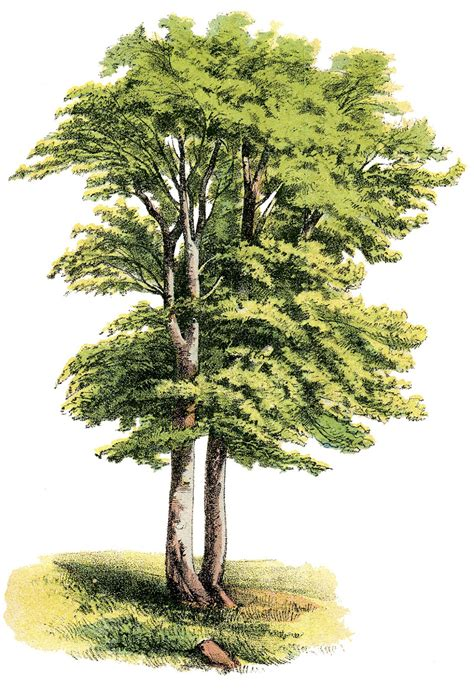 antique nature graphic lovely shade tree  graphics