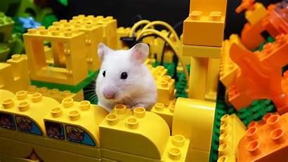 Hamster Parcours Duplo Steinen Hindernis Aus