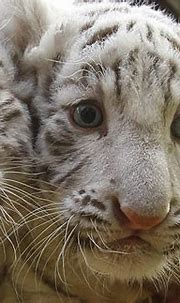 Indian zookeeper killed and eaten by white tiger cubs ...