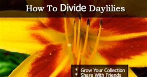 how to divide daylilies how to divide daylilies and expand your collection plant care today garden ideas pinterest