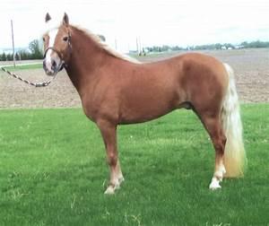 Haflinger Horses - YouTube