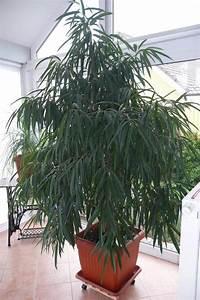 zimmerpflanze ficus longifolia in hohenstein pflanzen With französischer balkon mit ficus benjamini im garten