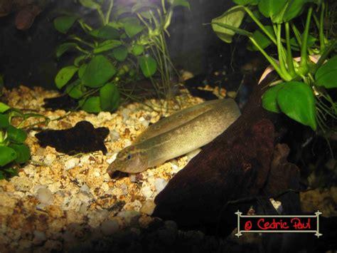 anguille aquarium eau douce macrognathus aculeatus anguille ocell 233 e eau saum 226 tre fiche et documentation l
