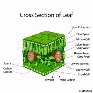 U0026quot Education Chart Of Biology For Cross Section Of Leaf