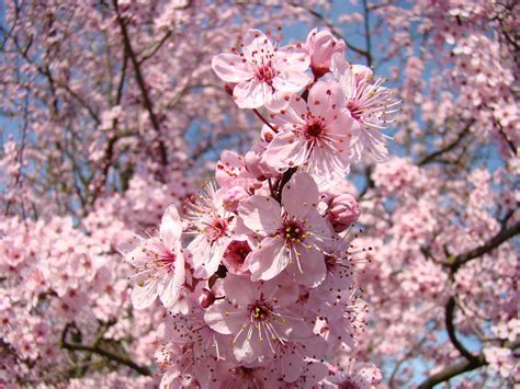trees with pink blossoms pink spring flower tree blossoms art prints blue sky landscape baslee troutman by baslee troutman
