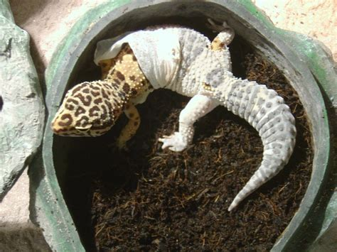 Do Baby Leopard Geckos Shed by Leopard Gecko Habitat For Sale I14 Jpg 2 592 215 1 944 Pixels