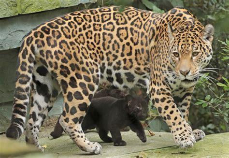 black jaguar cubs learn  stalk  artis zooborns