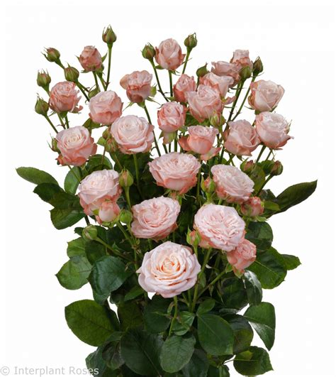 for roses madam bombastic interplant roses