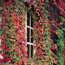 Buy Boston Ivy Climbing Plants From Ireland's Online