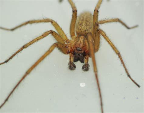 hobo spiders utah stewarts lawn