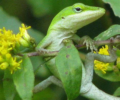 green anole florida lizards show that evolutionary change can be rapid the human evolution blog