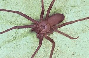 File:Brown recluse spider, Loxosceles reclusa.jpg ...