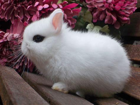 rabbit breeds rabbit breed identification