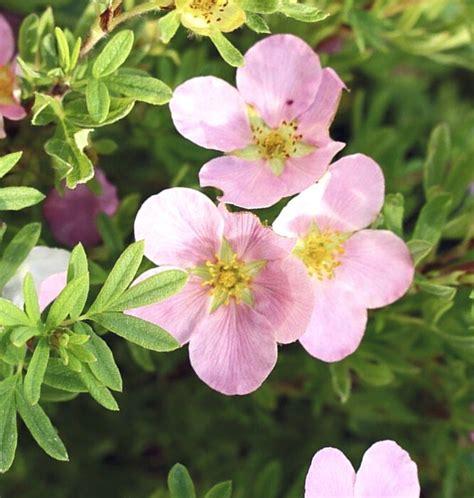 Klinšrozīte parastā Princess /Potentilla fruticosa ...