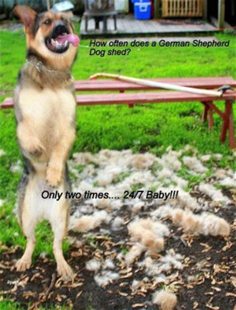 german shed do german shepherd s shed much page 1